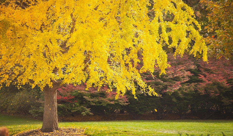 fall foliage tree with yellow leaves